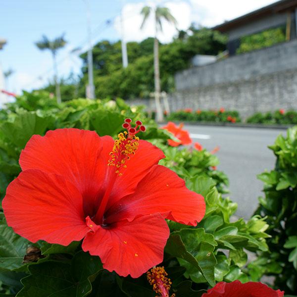 街中に咲くハイビスカス