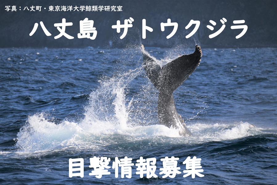 八丈島ザトウクジラ目撃情報の募集について